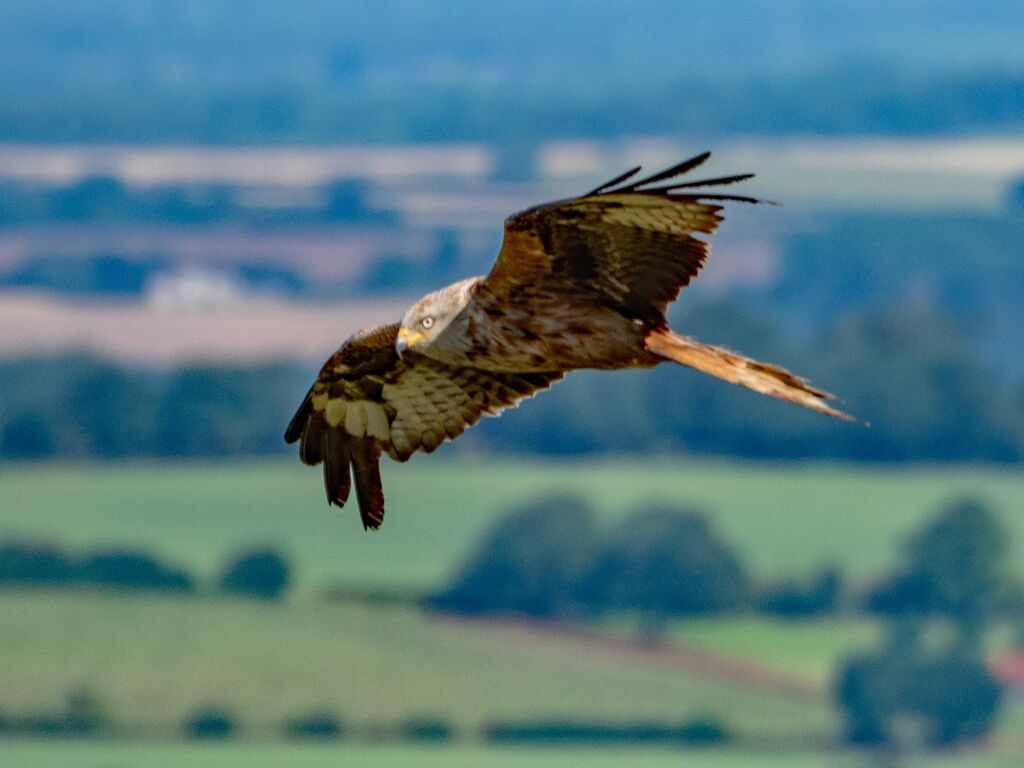 Watlington Hill Red Kite 31