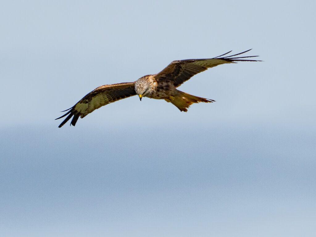 Watlington Hill Red Kite 32