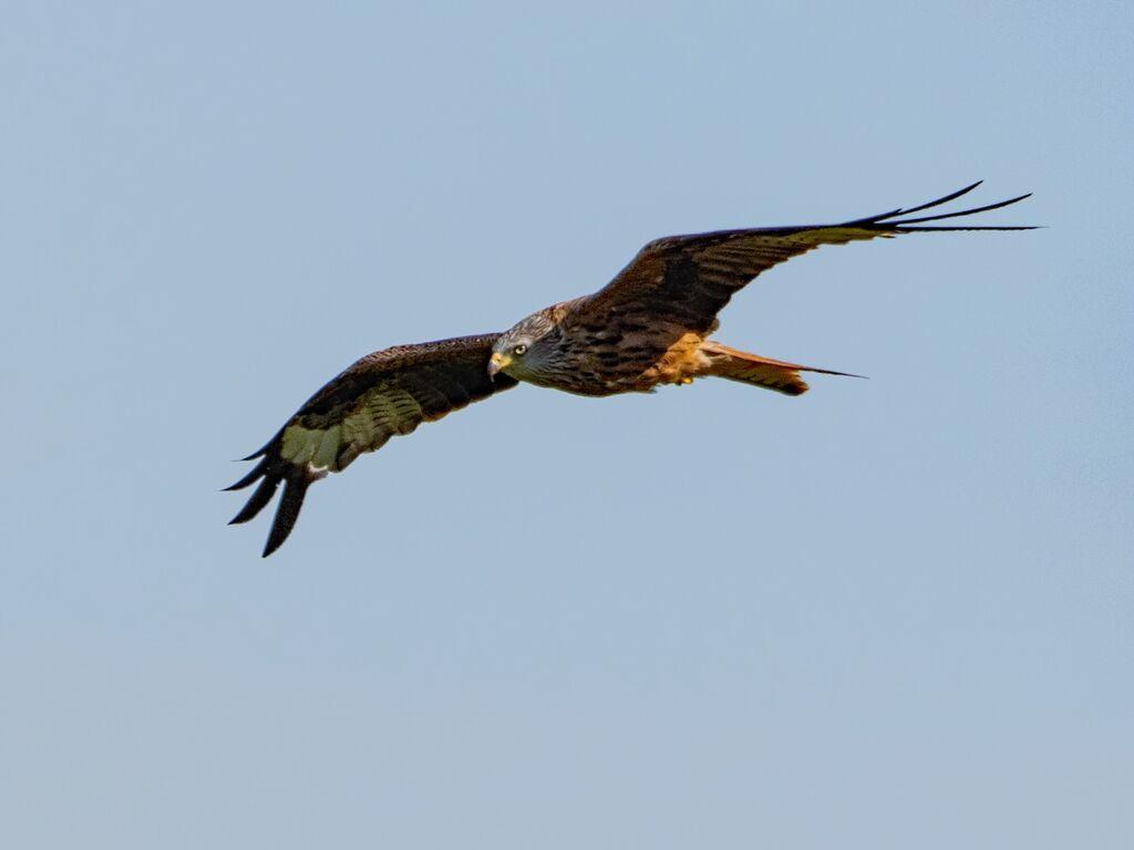 Watlington Hill Red Kite 34
