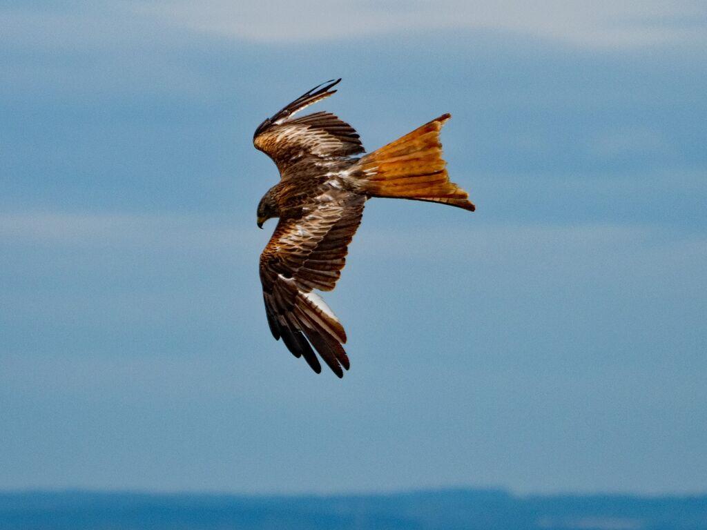 Watlington Hill Red Kite 36