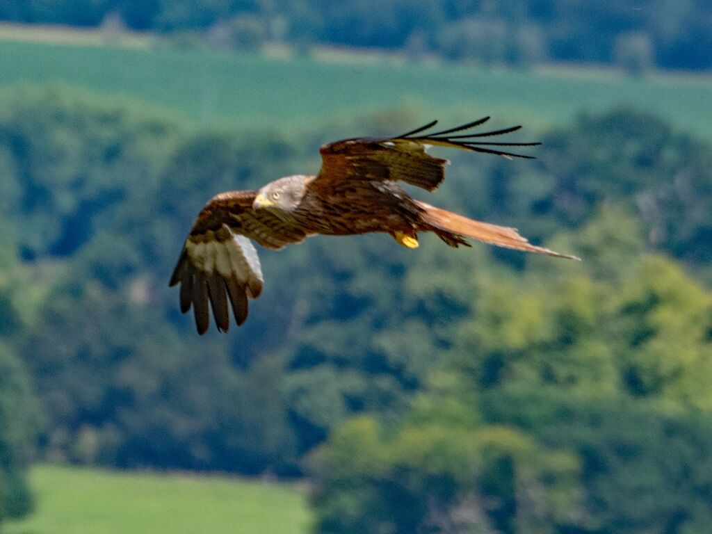 Watlington Hill Red Kite 37