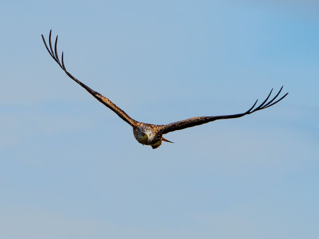 Watlington Hill Red Kite 21