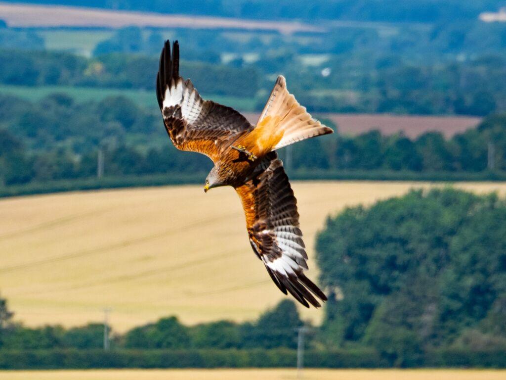 Watlington Hill Red Kite 22