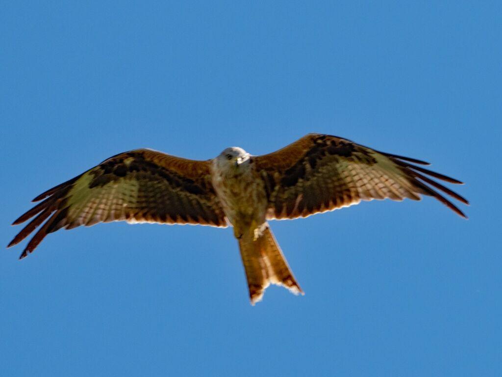 Watlington Hill Red Kite 23