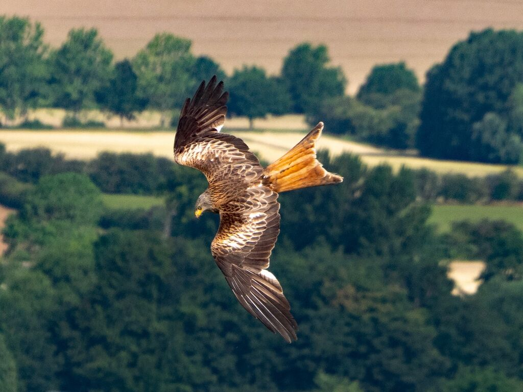 Watlington Hill Red Kite 24