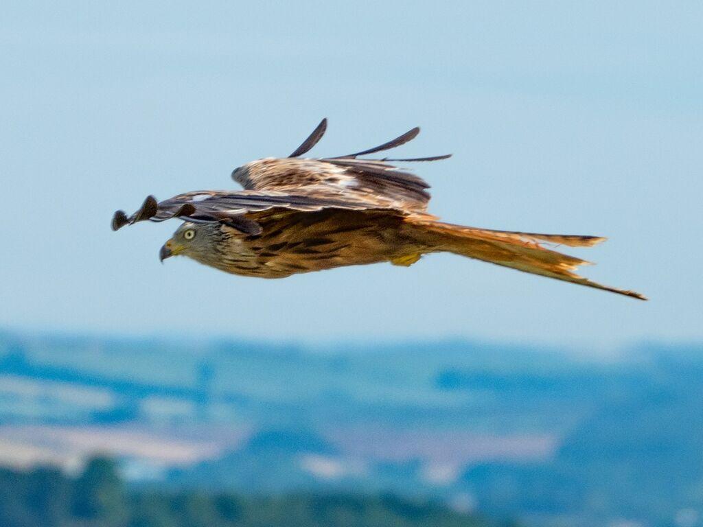 Watlington Hill Red Kite 25