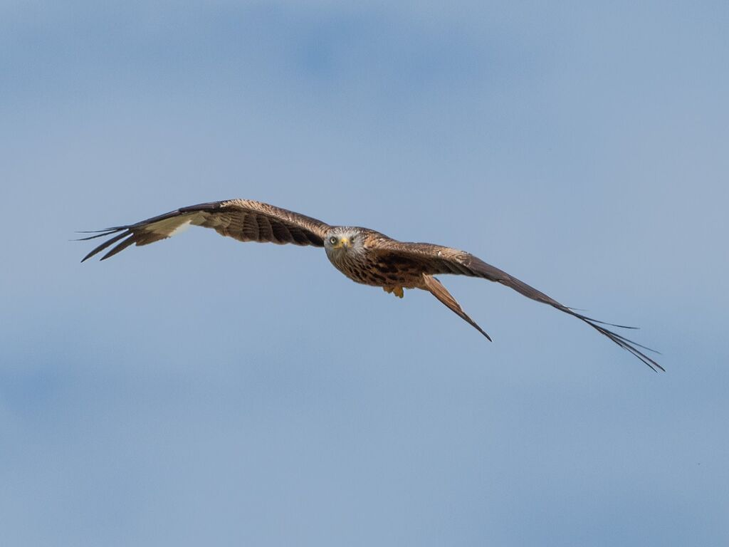 Watlington Hill Red Kite 10