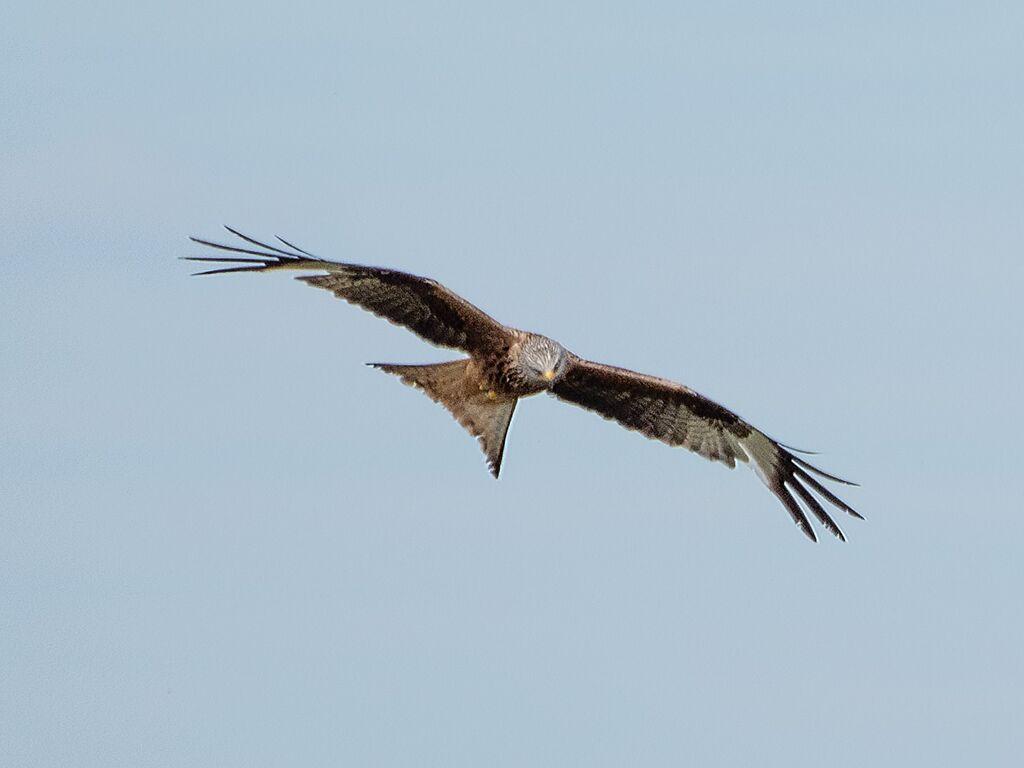 Watlington Hill Red Kite 11