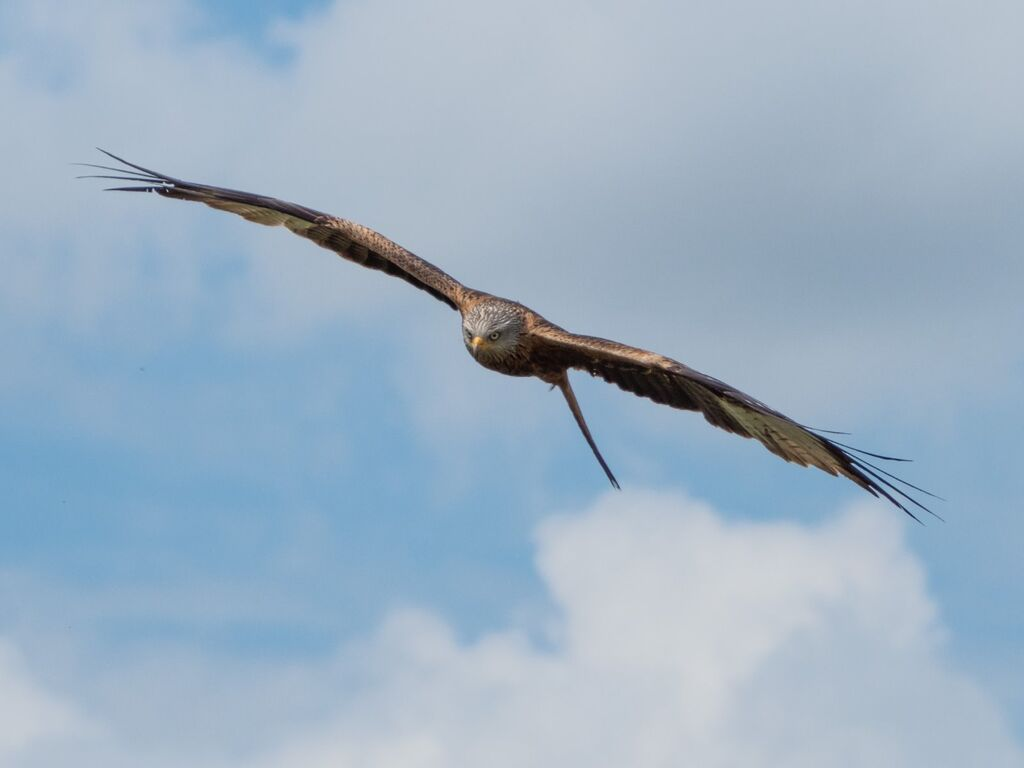 Watlington Hill Red Kite 12