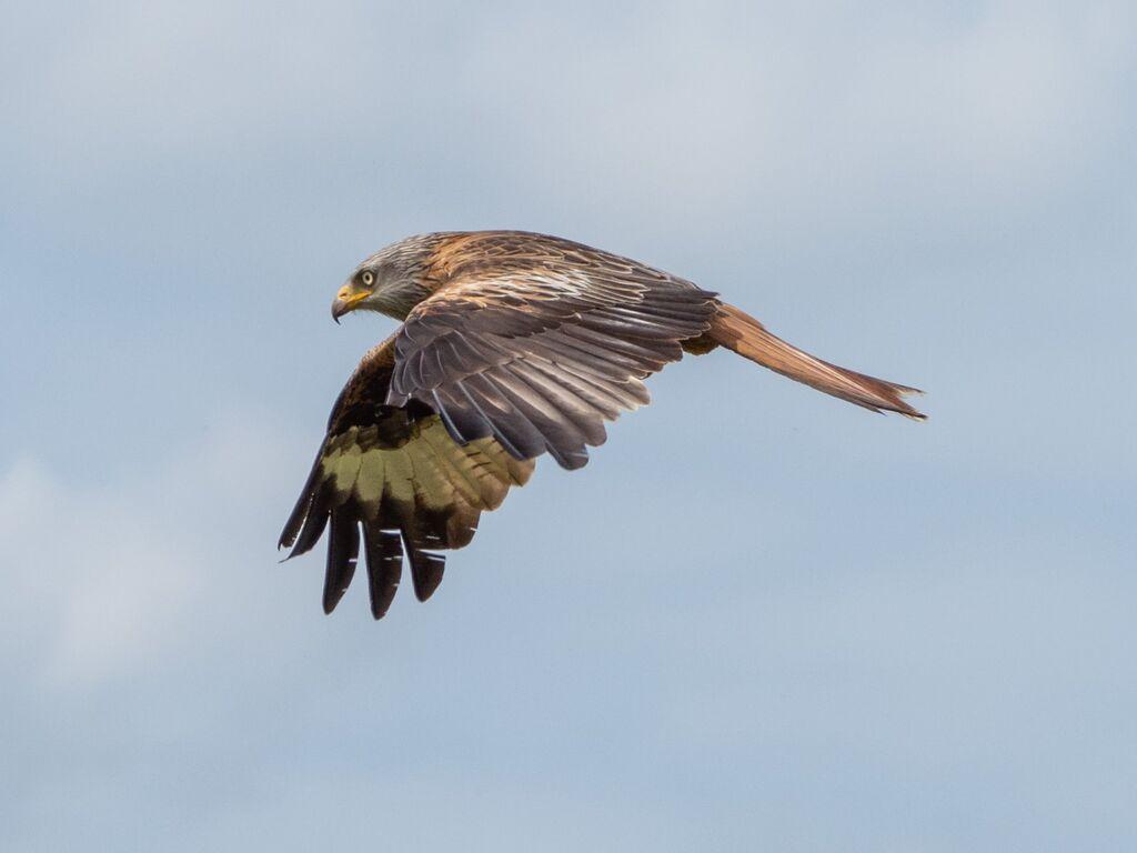 Watlington Hill Red Kite 13