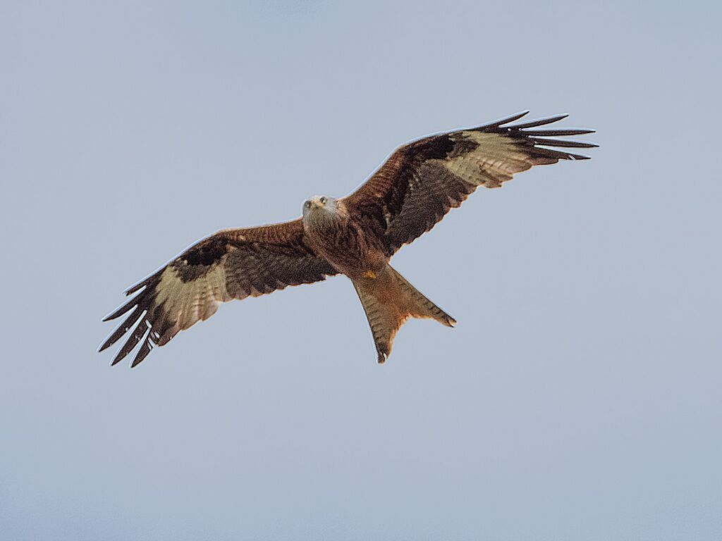 Watlington Hill Red Kite 14