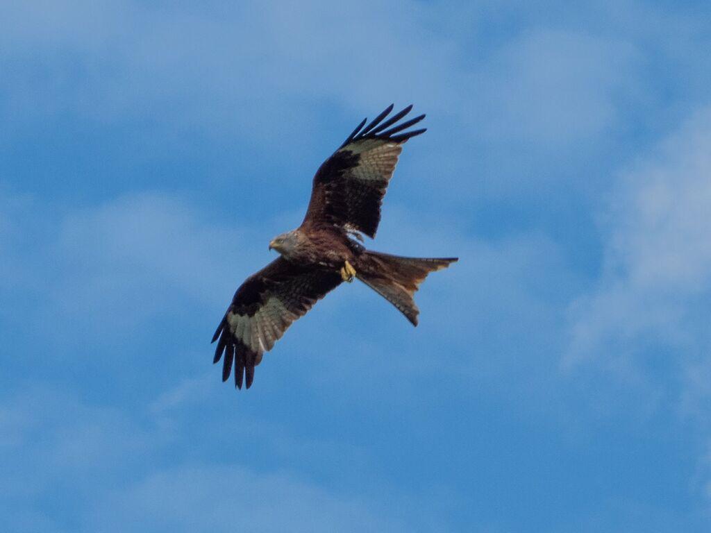Watlington Hill Red Kite 15