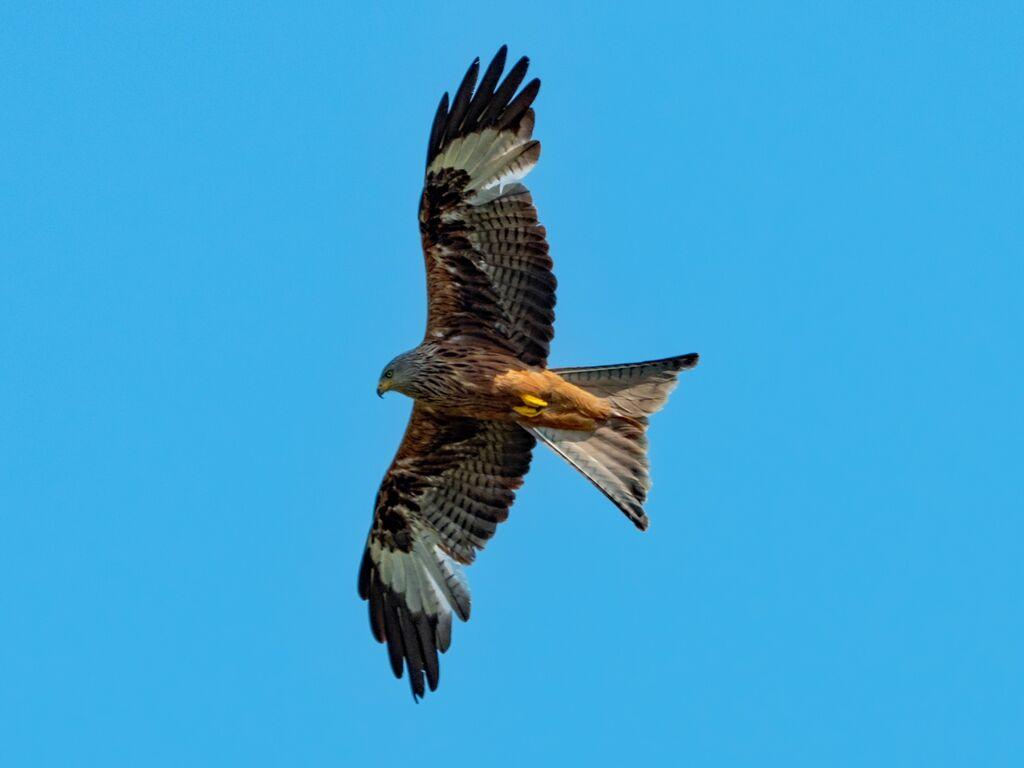 Watlington Hill Red Kite 16
