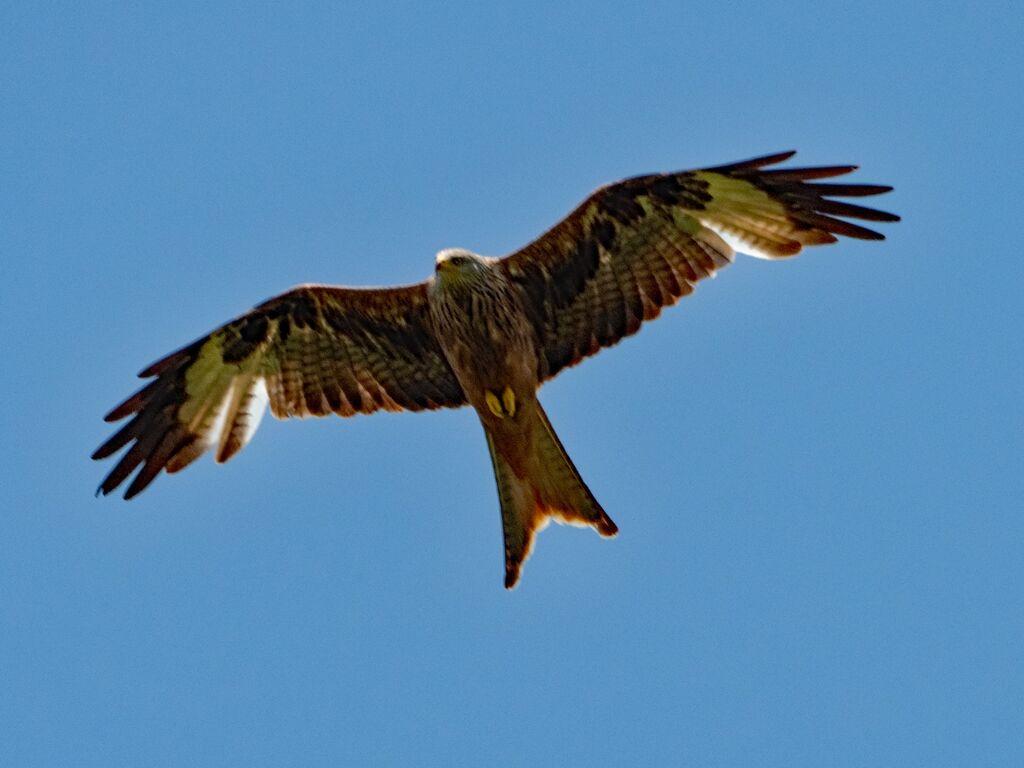 Watlington Hill Red Kite 17