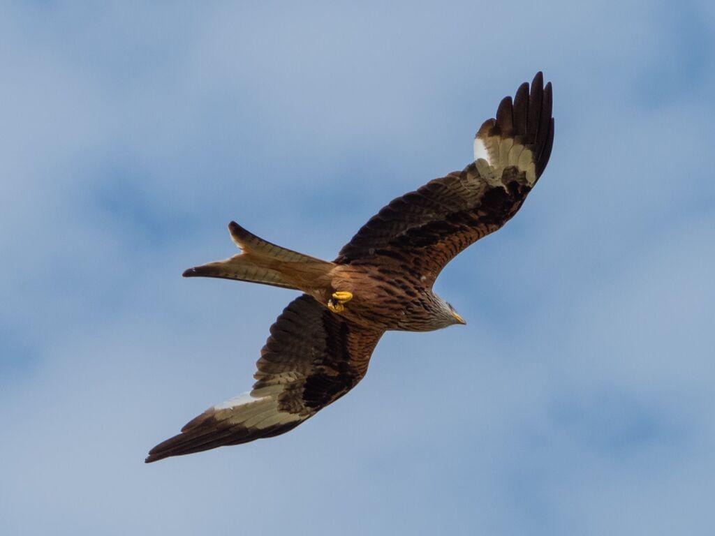 Watlington Hill Red Kite 3