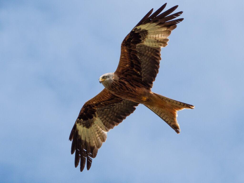 Watlington Hill Red Kite 4