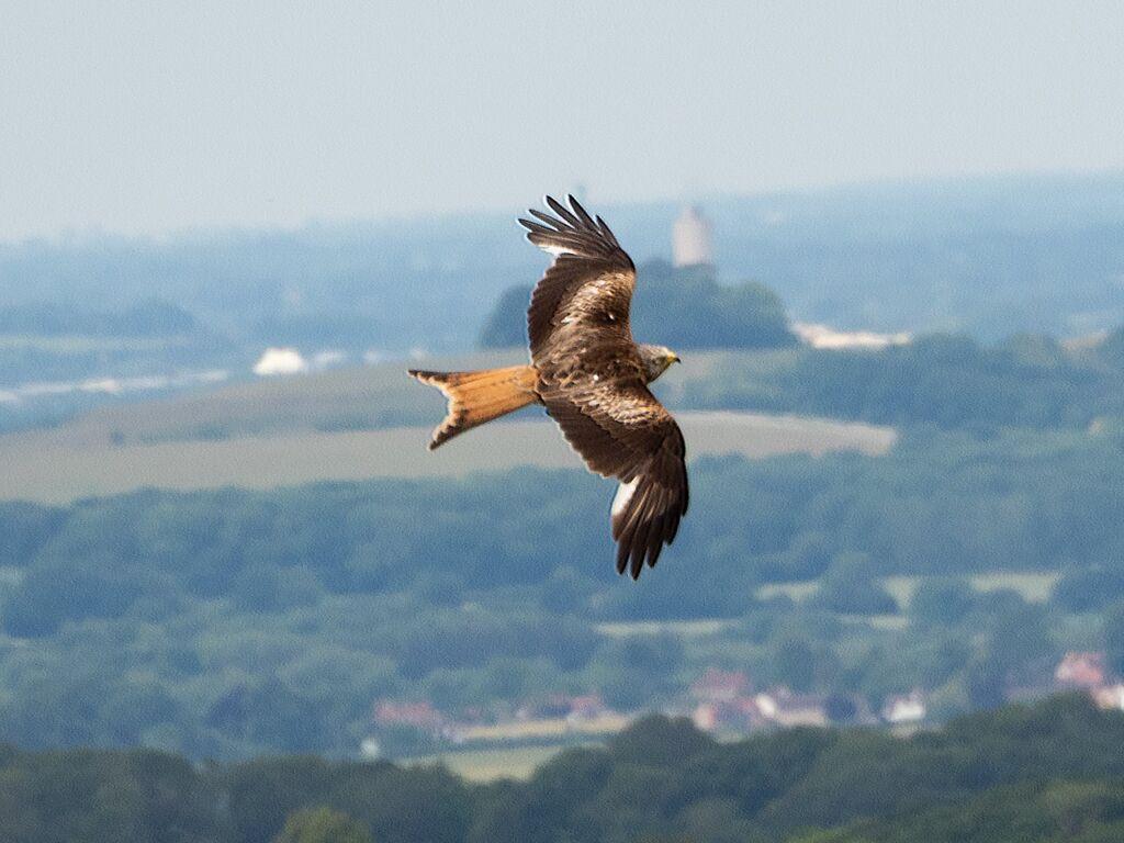 Watlington Hill Red Kite 5