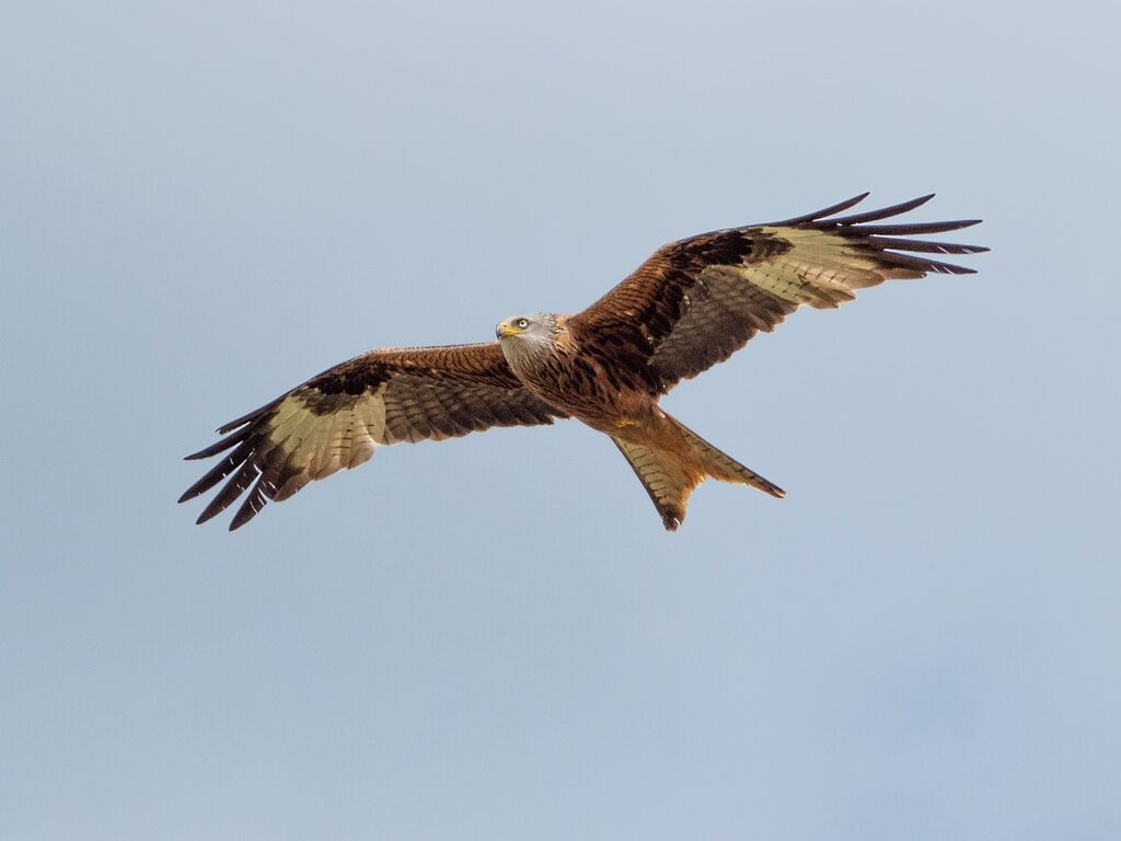 Watlington Hill Red Kite 6
