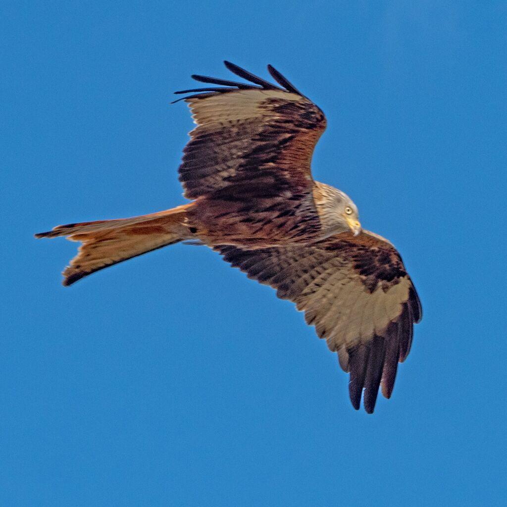 Watlington Red Kite 38