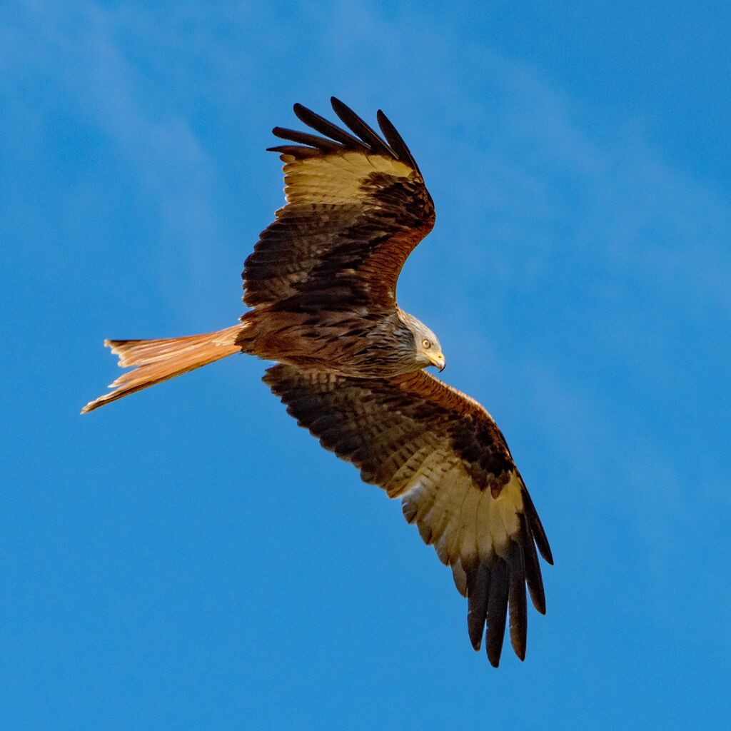 Watlington Red Kite 39
