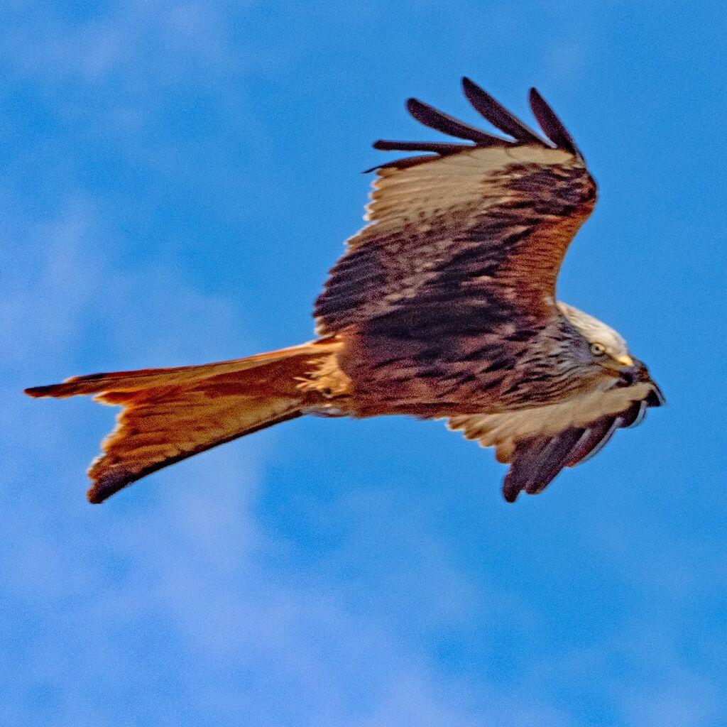 Watlington Red Kite 42