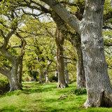 Old Oak Trees