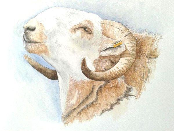 Welsh mountain rams head