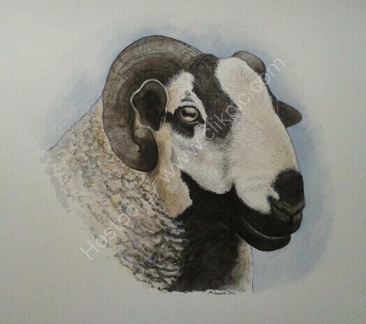 Badger face ram