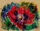 Opium Poppy 5