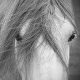 Grey Dales pony