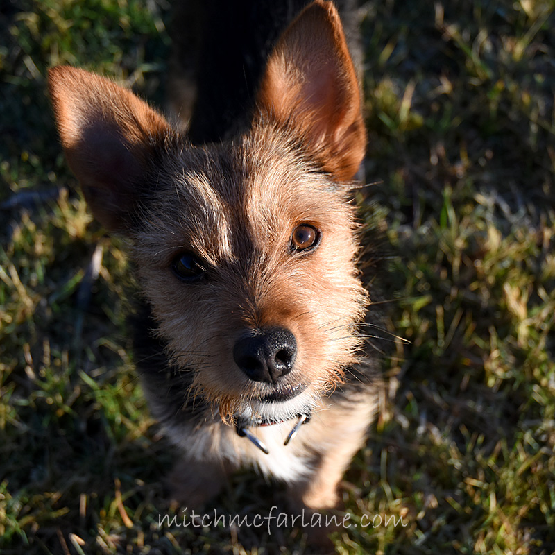 Billy the kid rescue pup