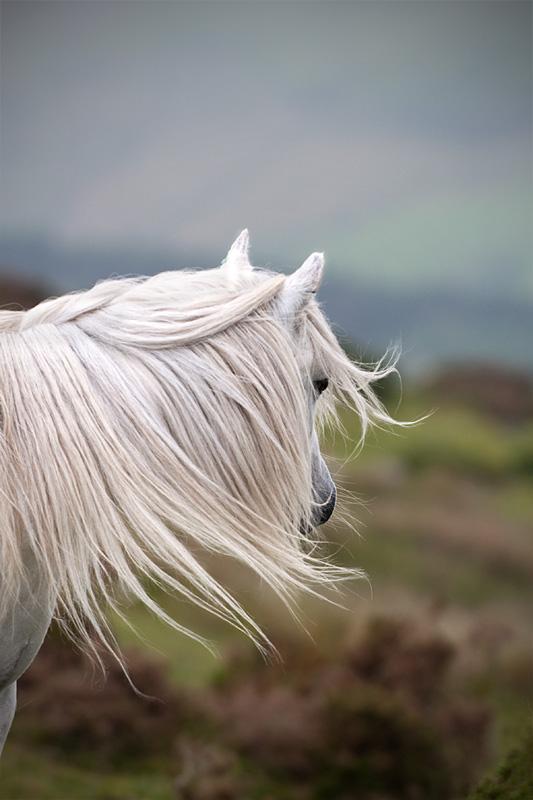 Windswept wild Welsh pony