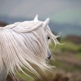 Windswept wild Welsh pony