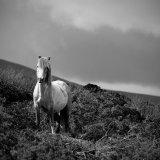 Welsh Carneddau pony