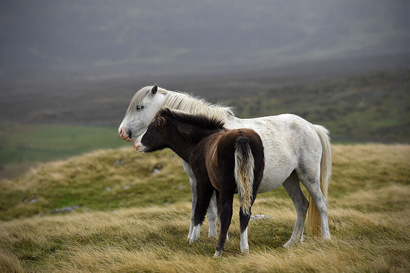 Welsh mountain pony and foal