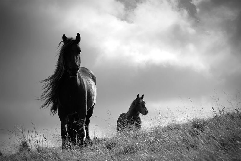 Windy and wild...Fell ponies