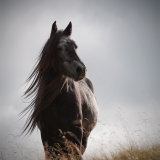 Grey Fell pony