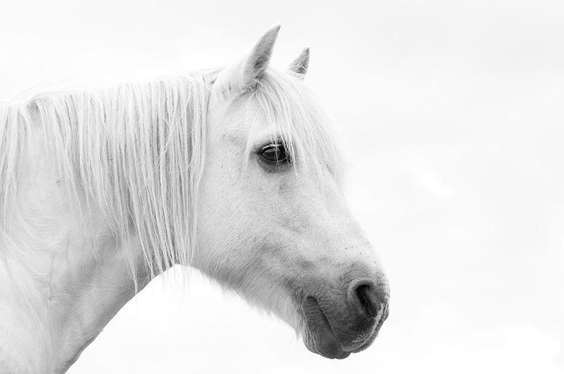 White highland pony