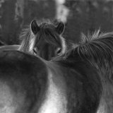 Exmoor ponies on Exmoor