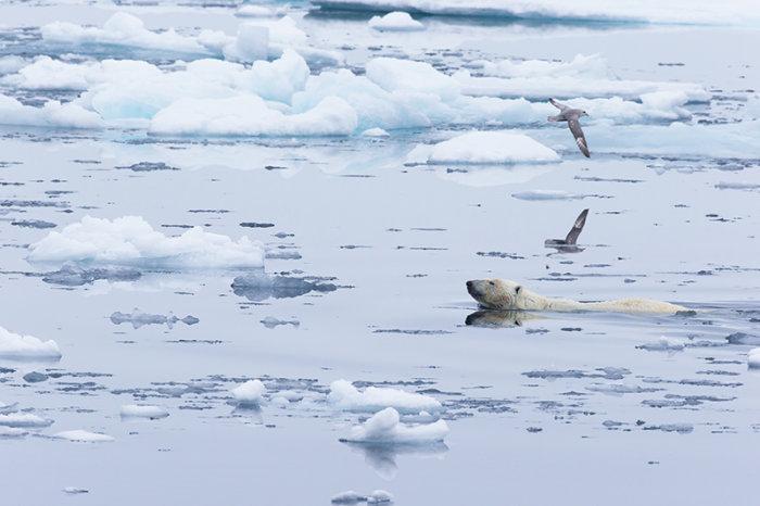 IJsbeer zwemmend tussen het pakijs