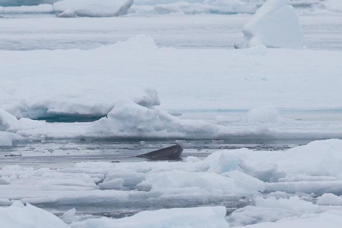Walvis tussen het pakijs