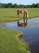 Pony drinking