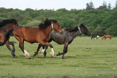 Mares galloping