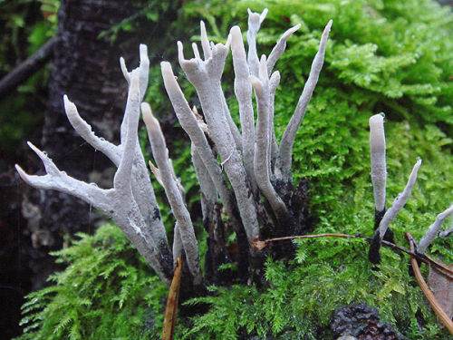 Candlesnuff or stag's-horn fungus