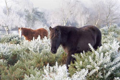 Ponies in hoar frost