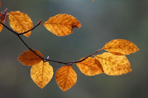 Coppery beech leaves