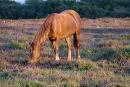 Pony grazing heath