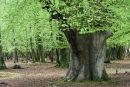 Spring beech leaves