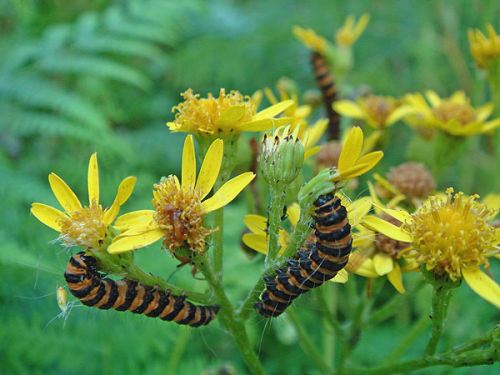 Caterpillars of cinnabar moth