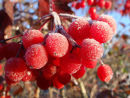 Berries of Guelder rose